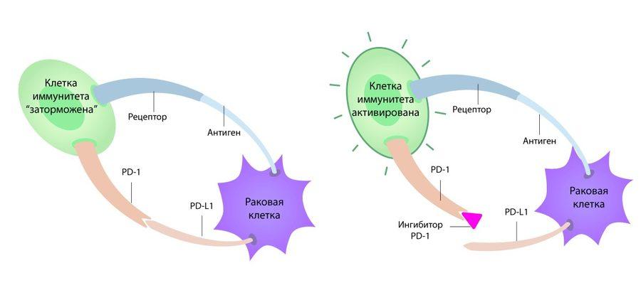 Иммунитет против раковых клеток
