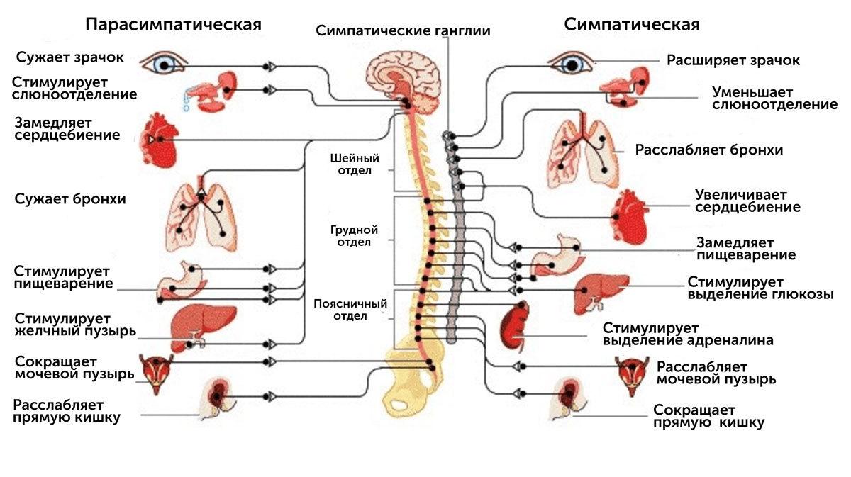 Вегетативный (автономный) отдел нервной системы