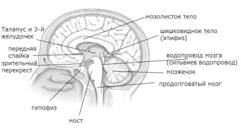 Сагиттальный разрез головного мозга